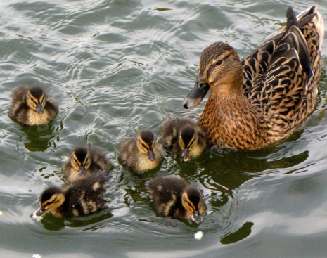 Anas platyrhynchos -United Kingdom -adult female and ducklings-8.jpg